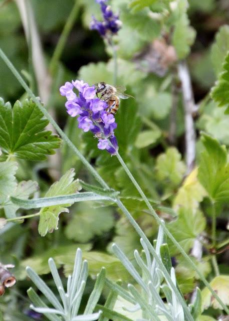 Tilly's Nest- honeybees on lavender-002wp