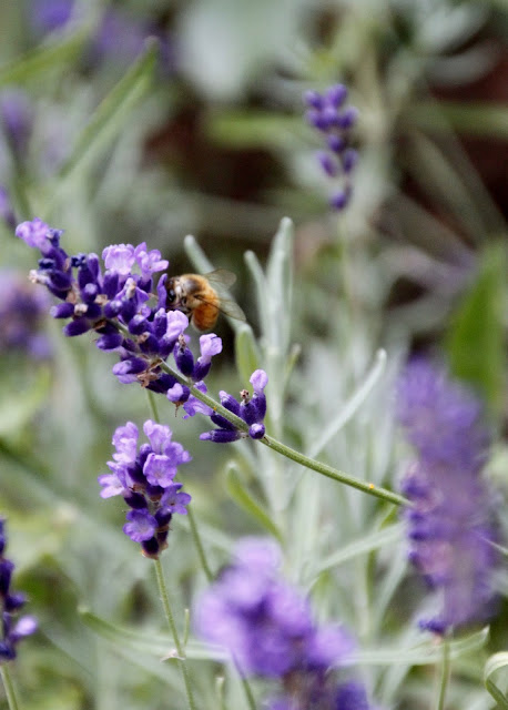 Tilly's Nest- honeybees on lavender-003wp