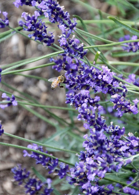 Tilly's Nest- honeybees on lavender-004wp