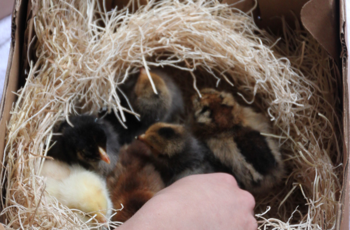 Tilly's Nest- new baby chicks