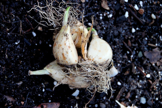 Tilly's Nest-planting garlic cloveswp
