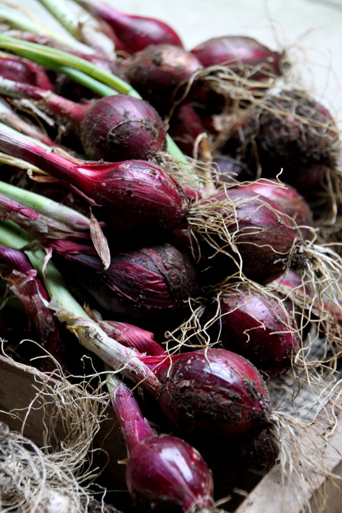 Tilly's Nest- red onions