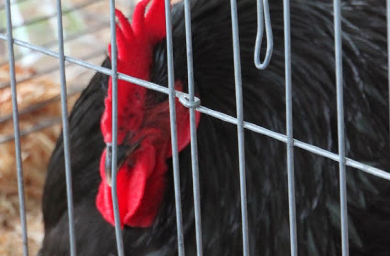 Tillys-Nest-sleeping-rooster