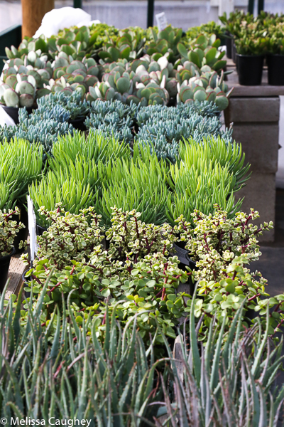 Tillys Nest succulents