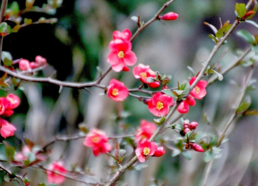Tillys-nest-budding-thorn-bush