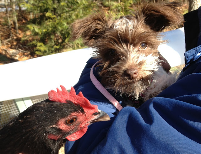 puppy and chickens