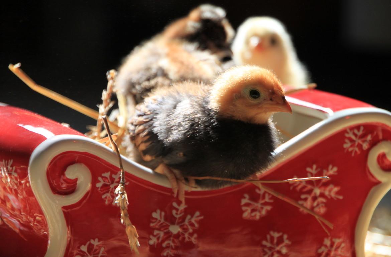 TillysNest-santa chicks