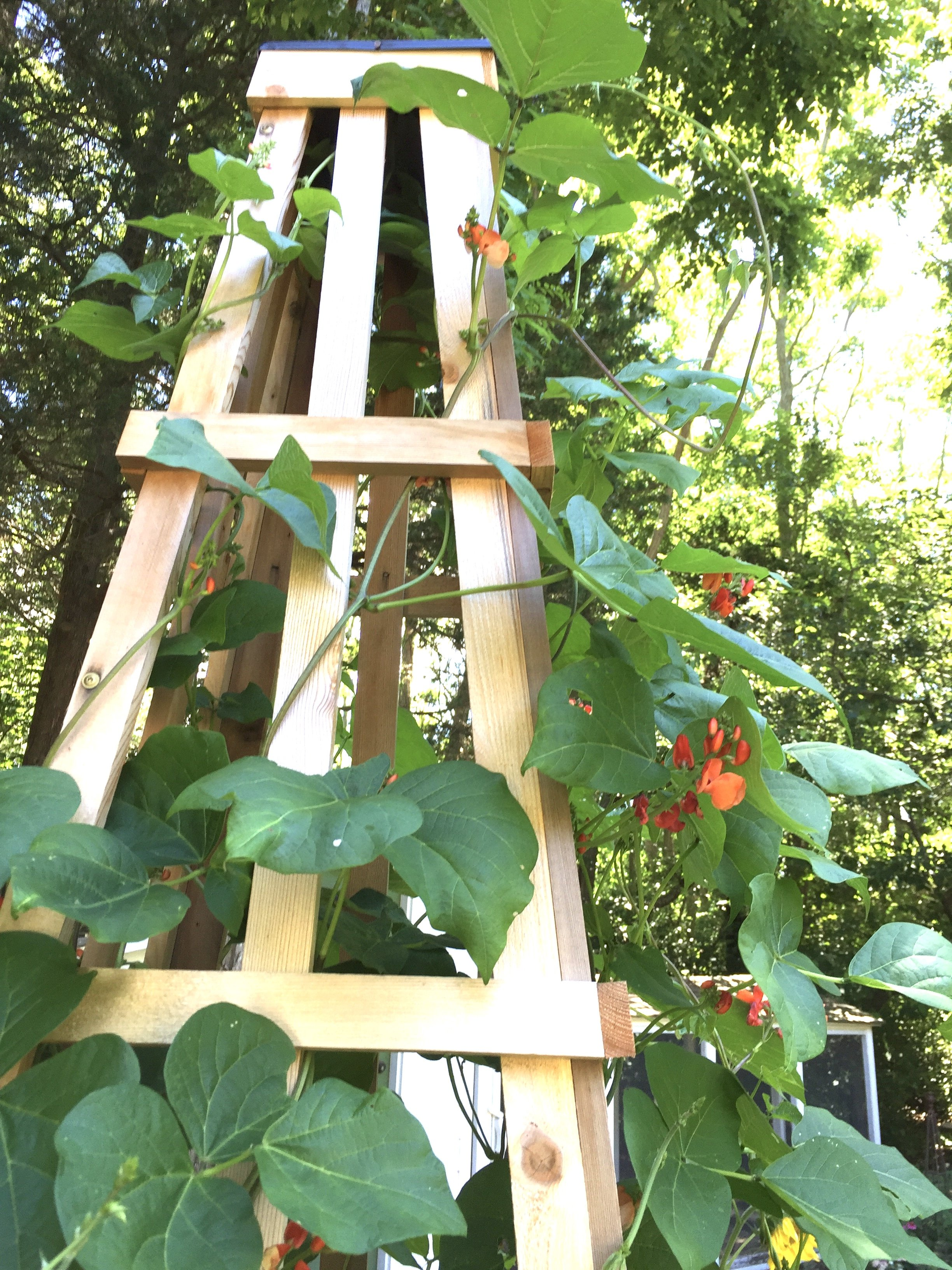 Tilly's Nest- chocolate runner beans to dry