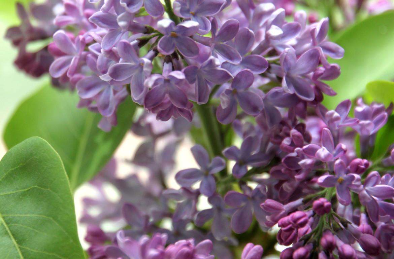 Tillysnest-lilacs