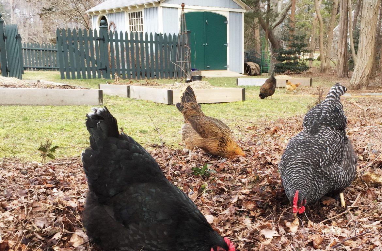 Caughey-chickensinleaves