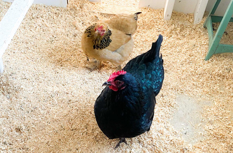 Caughey_Melissa-chickeninspectors