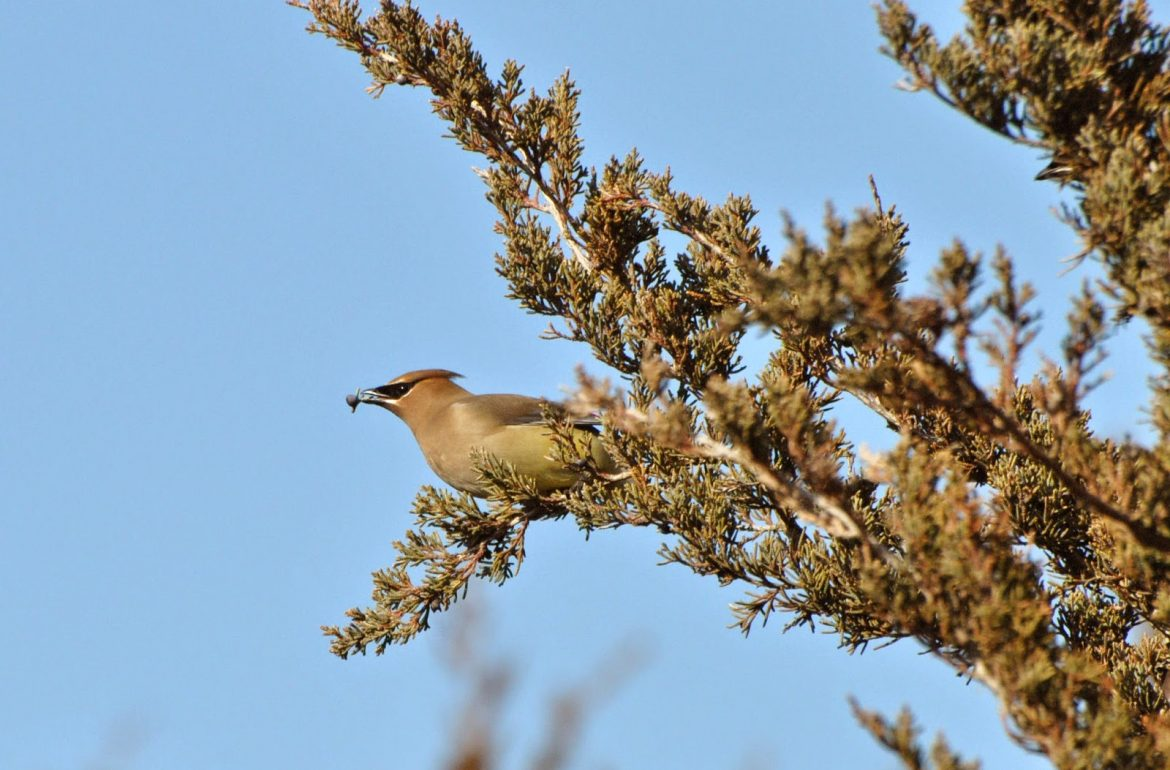 HGTV-PCrosson-evergreens-cedar-waxwing