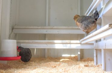 original_caughey-melissa-chickenatfeeder