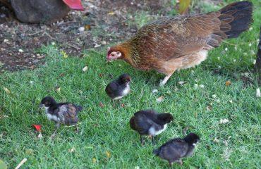 original_caughey-melissa-chickensinhawaii2