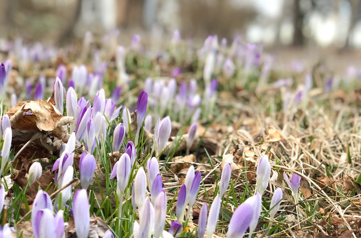 Original_Caughey-Melissa-spring-crocuses