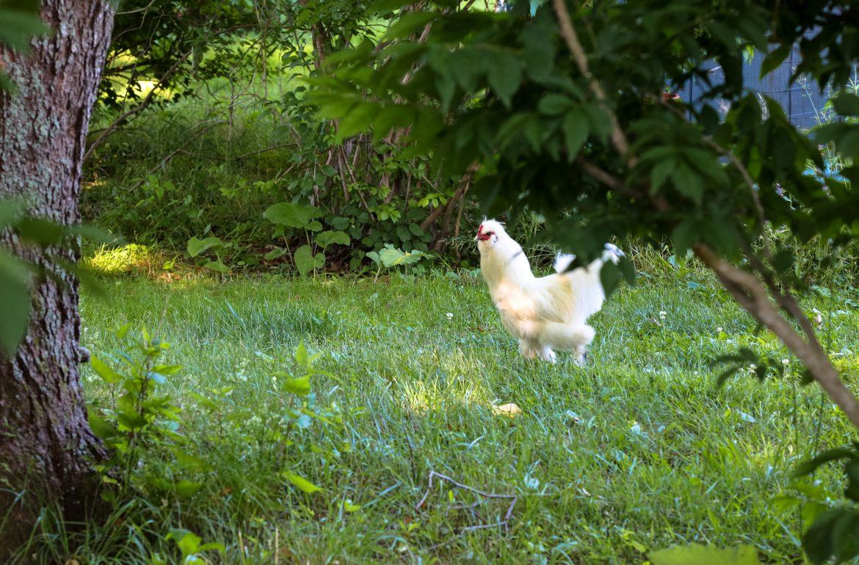 original_caughey-melissacaughey-silkie-rooster