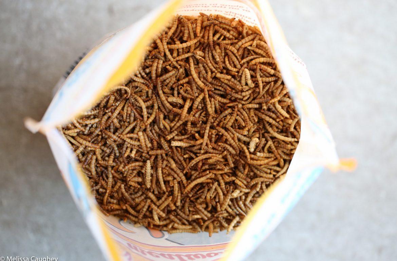 Original_Caughey-MelissaCaughey-chubby mealworms 1