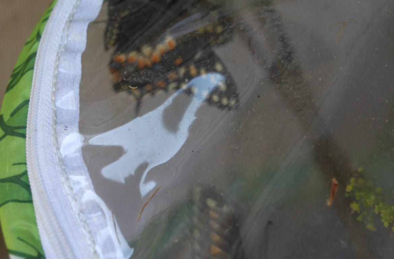 Tillys Nest-Eastern Black Swallowtail butterflies