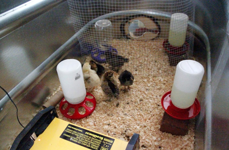 Tillys-Nest-chicken-jail