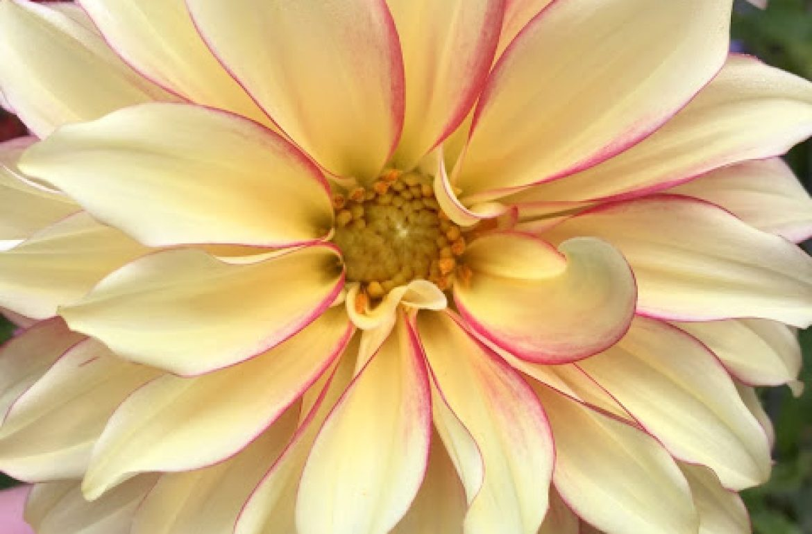 Tilly's Nest- dahlias (1)wp2