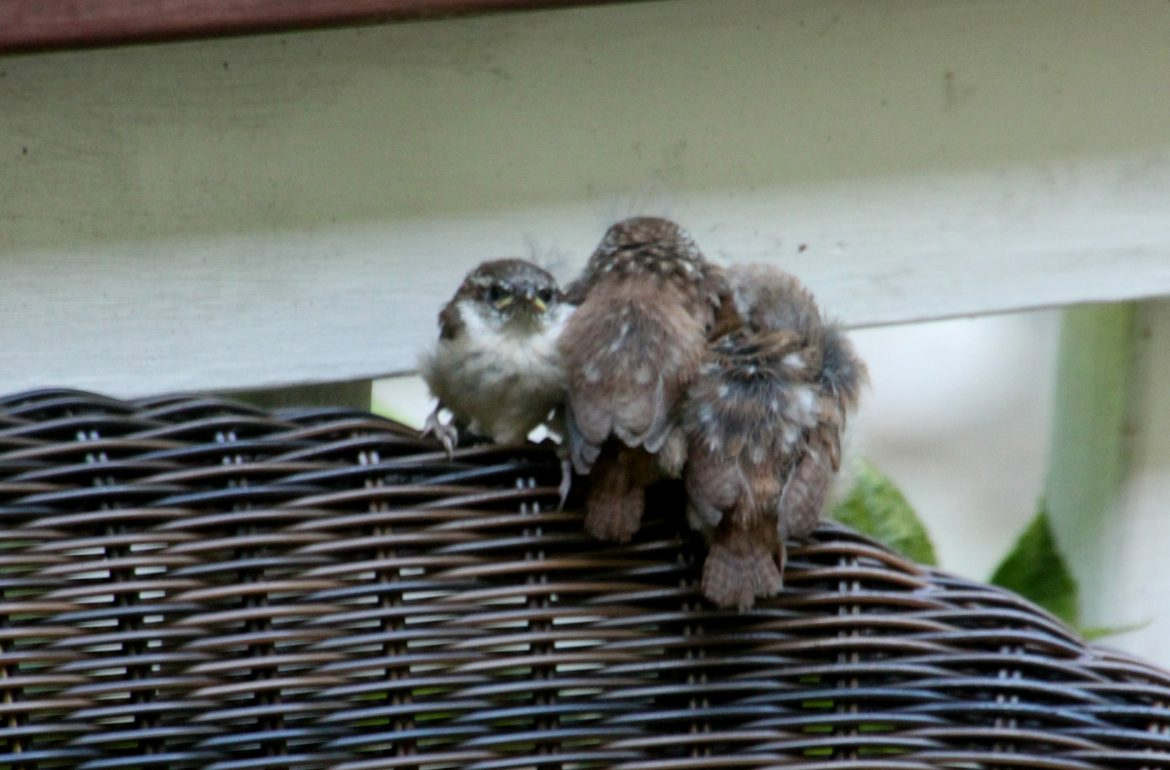 Tillys Nest- fledging Carolina Wrens