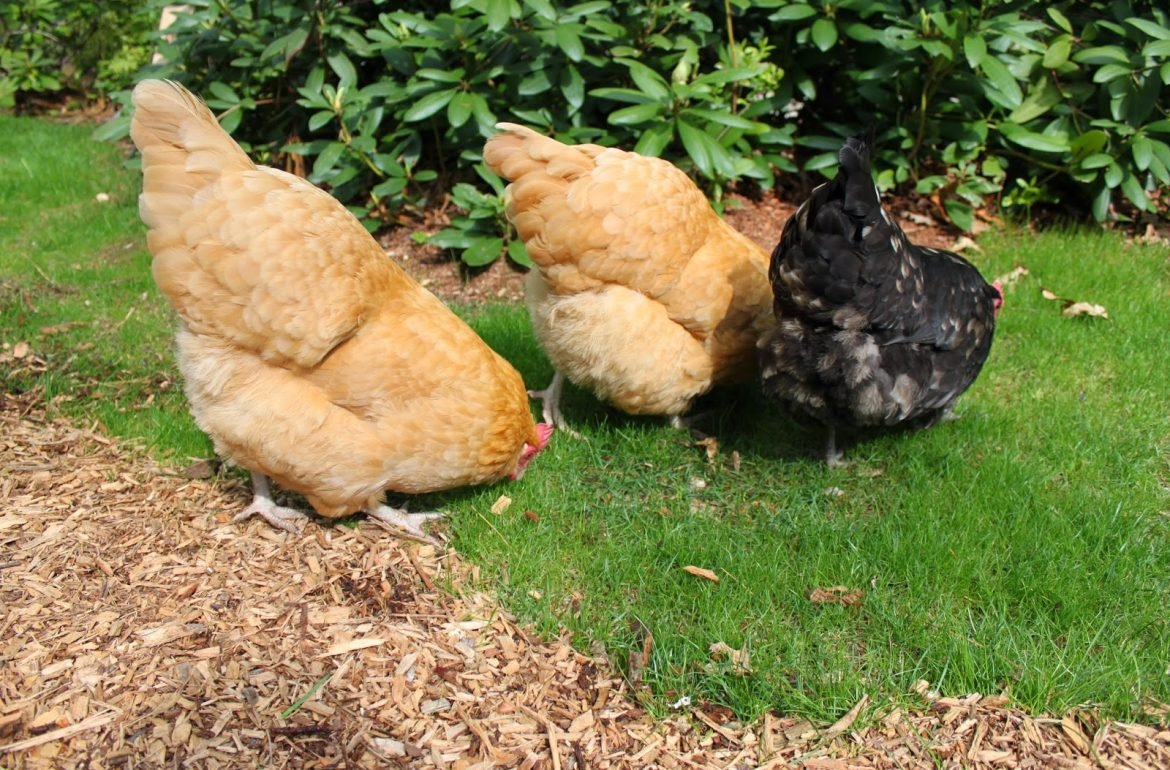 Tillys-Nest-free-ranging-chickens