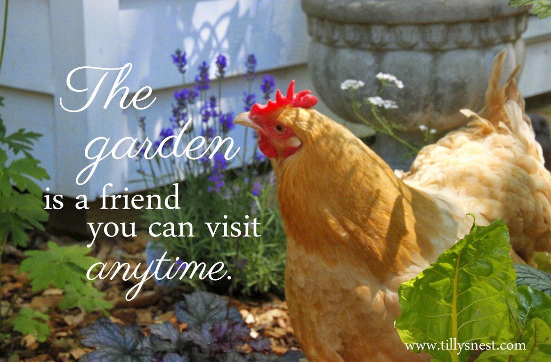 Tillys-Nest-hen-in-garden