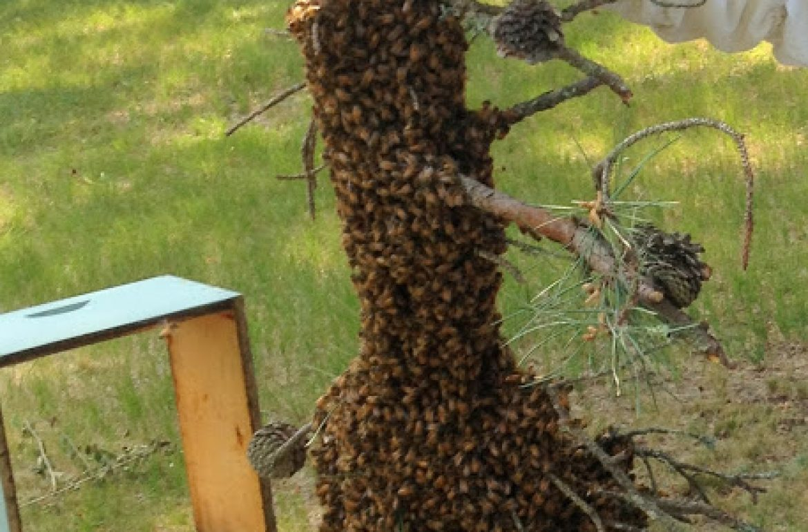 Tilly's Nest- honeybee swarm (1)wp