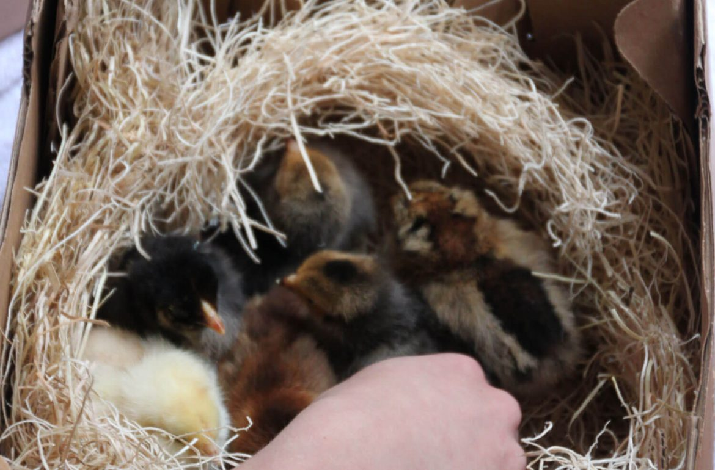 Tilly's Nest- new baby chicks