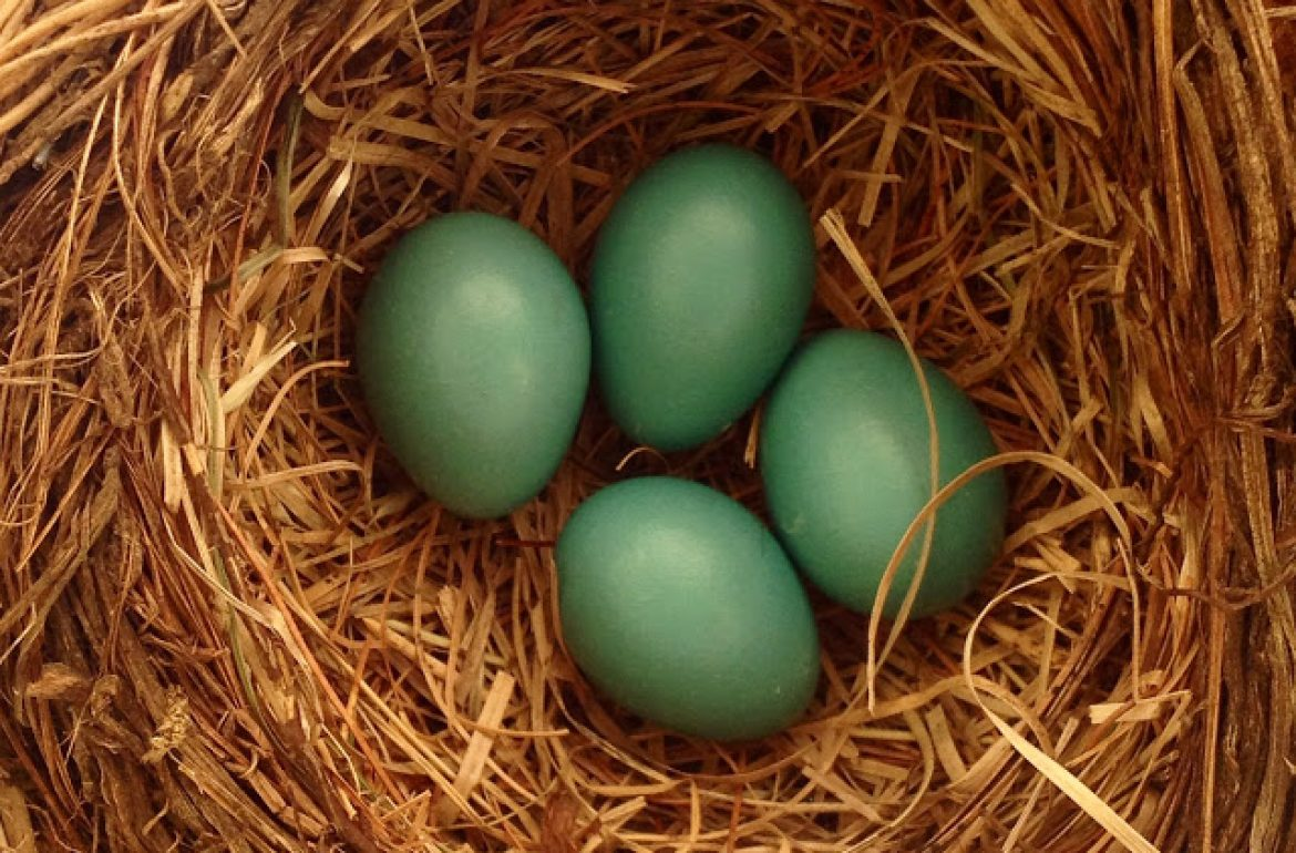 Tilly's Nest-robins nest 4 eggs (1)wp