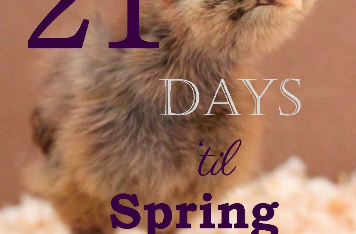 Tillys-Nest-spring-countdown-chick