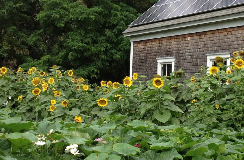 Tillys-Nest-sunflowers