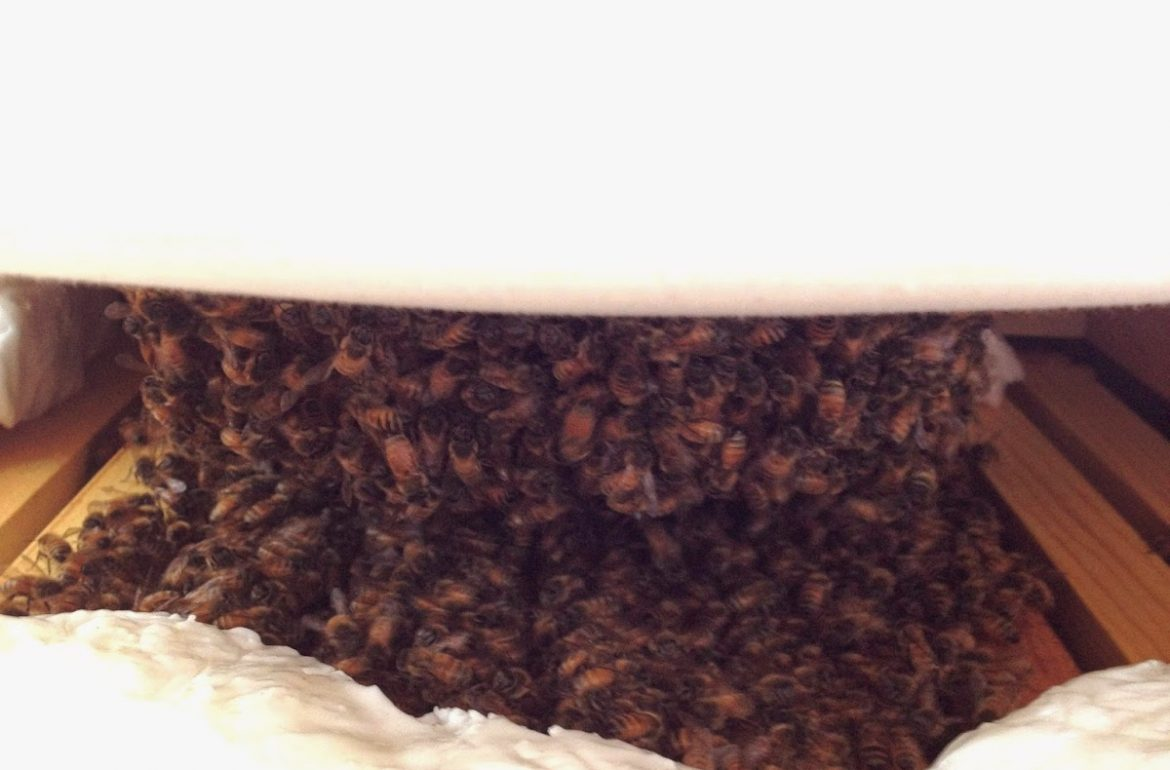 Tillys-Nest-winter-honeybee-cluster