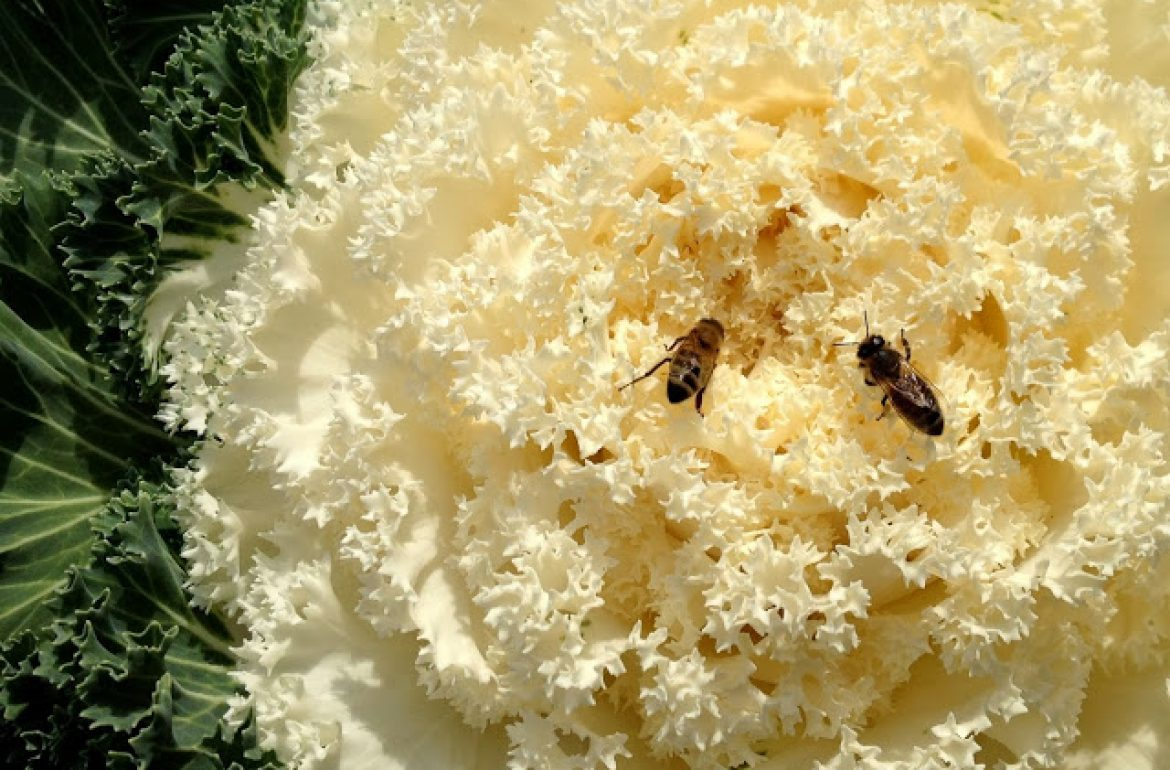 Tillysnest-bees-on-cabbage