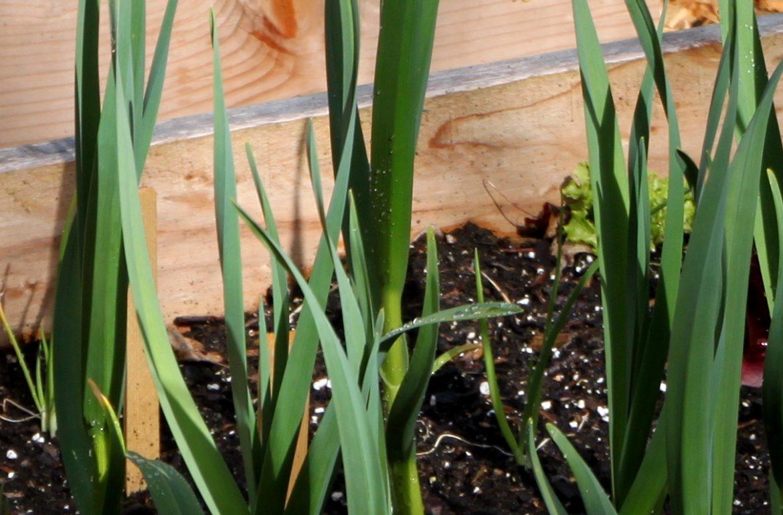 Tillysnest-garlic