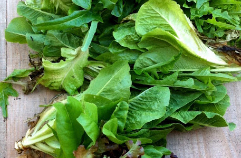 Tillysnest-lettuce-001