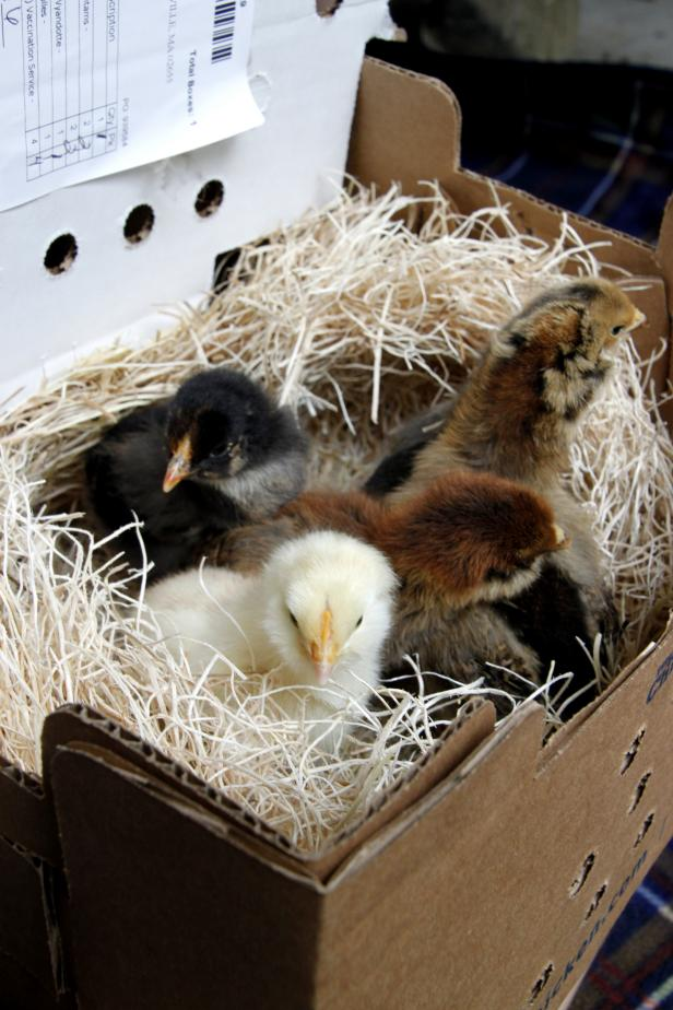 chick brooder DIY