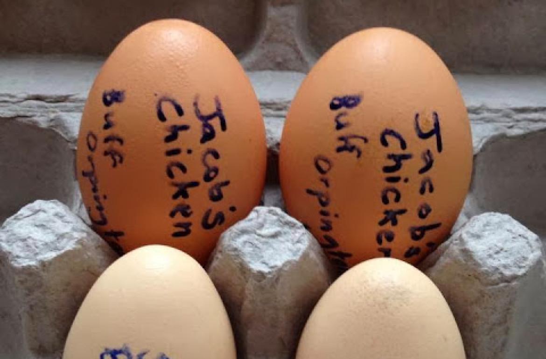 jacobs-eggs-experiment