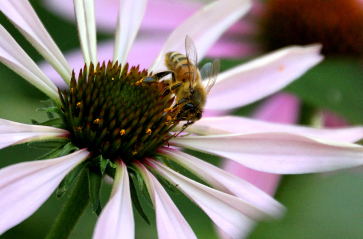 tillys nest bee on echinacea